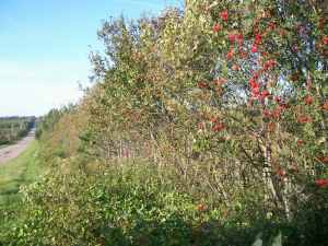 Rowan trees in hedgerow