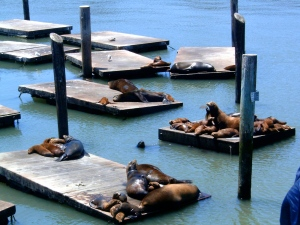 Sea Lions, San Francisco