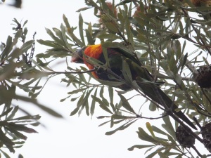 Rainbow Lorikeet in Banksia