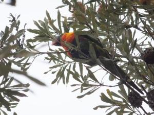 Rainbow Lorikeet in Banksia