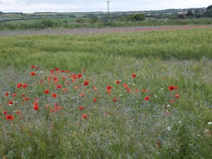 Poppies near Warkworth