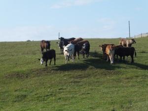 Confused Bullocks