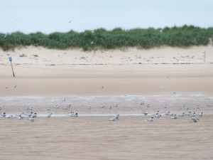 Arctic Terns on Beadnell Bay