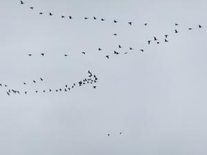 Skeins of Geese