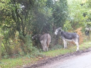 New Forest donkeys